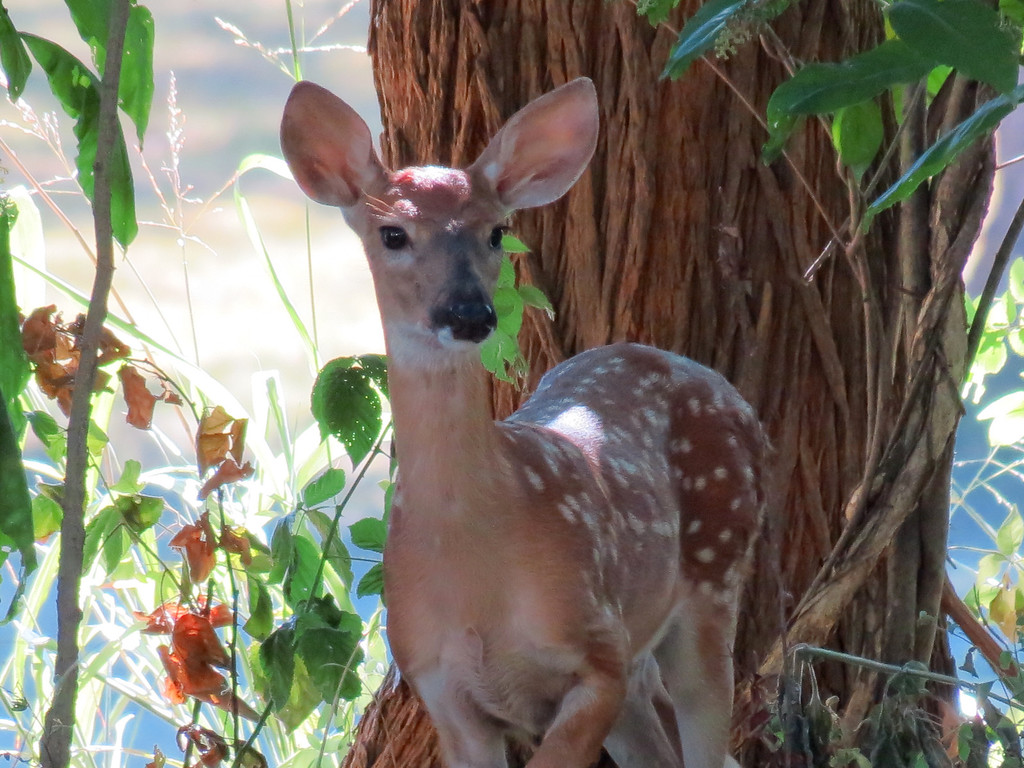 One of the fawns wandered through the backyard late this afternoon.