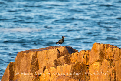 Sooty Oystercatcher, Boat Harbour, New South Wales