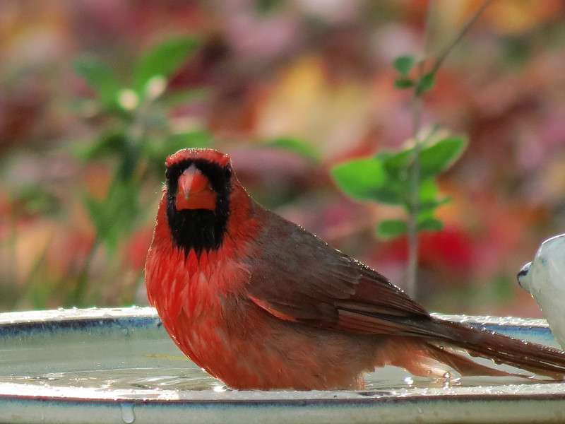 This male Cardinal showed up late in the afternoon and<br /> allowed me to get this picture of him bathing.