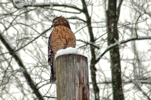 2/8/2011 - A Visitor to our Front Yard