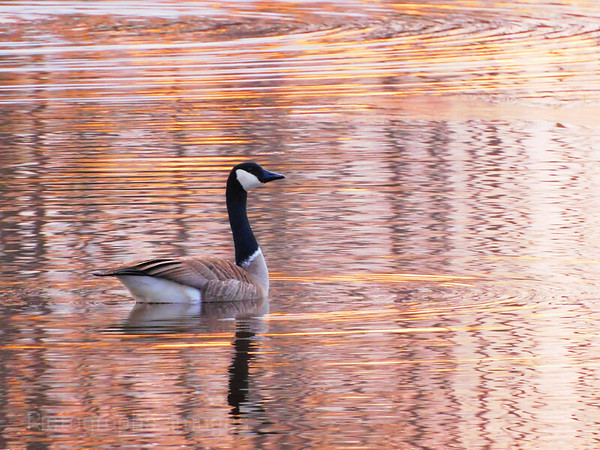 Golden Light Goose,