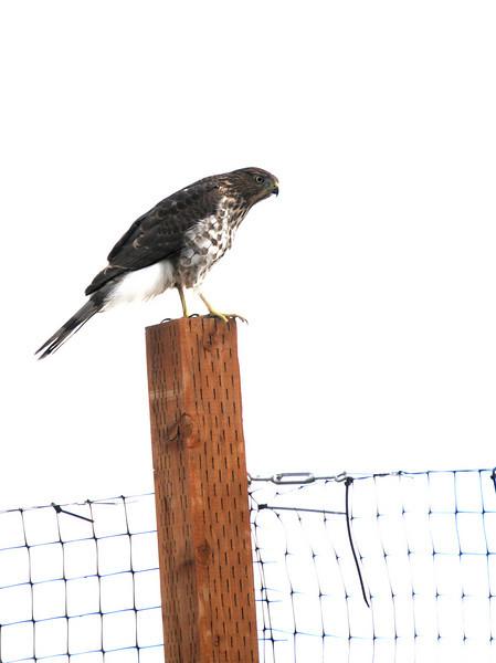 Same Hawk on a Post