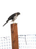 Same Hawk on a Post