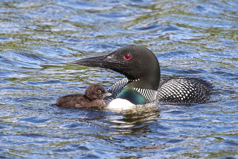 Loons With Chick   6