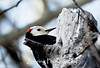 Male White-headed Woodpecker