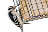 female Hairy Woodpecker<br /> Picoides villosus