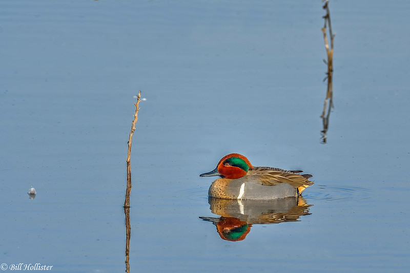 Green-winged teal in Central Valley 1-2012 #09