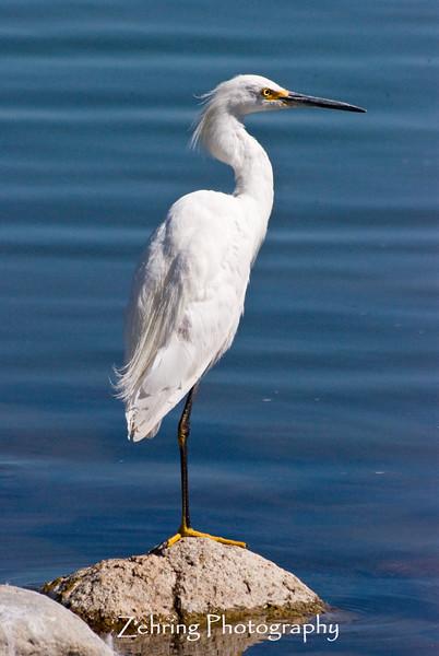 "Snowy egret in the classic ""one-legged"" perch"