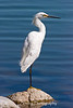 "Snowy egret in the classic ""one-legged"" perch"