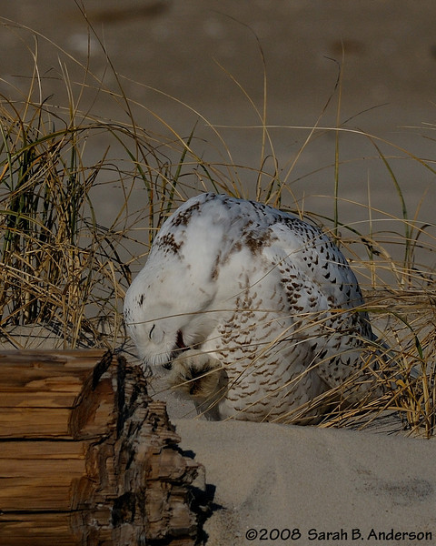 Snowy Owl grooms its foot feathers.<br /> Assateague Island National Seashore, Maryland<br /> December 2008