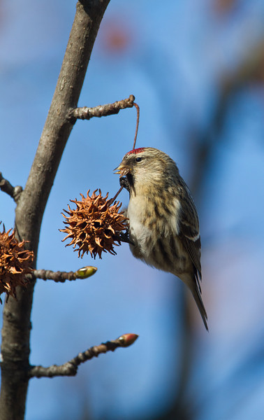 Common Redpoll - February 2012