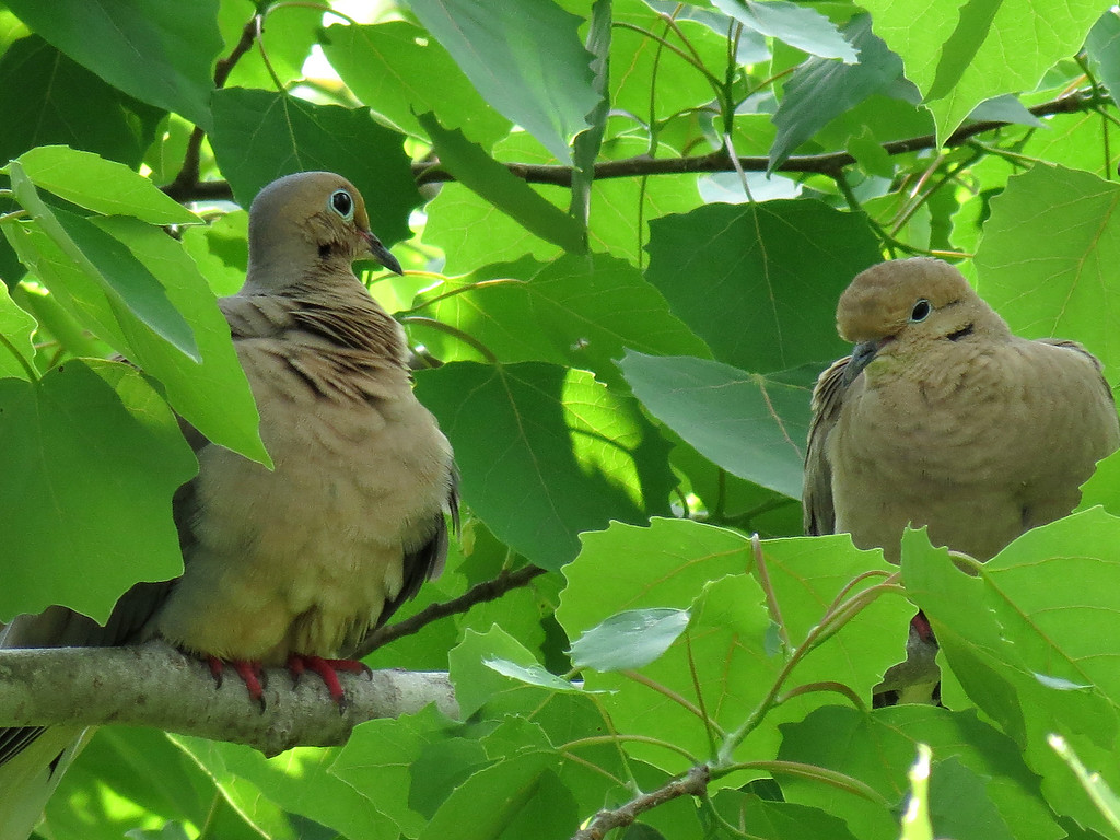 Mourning doves with their feathers ruffled.