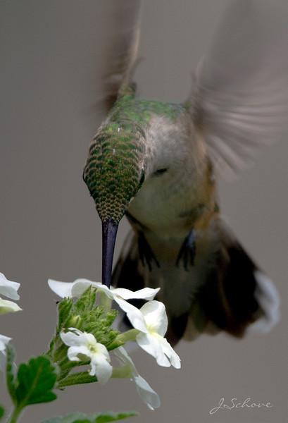IMAGE: http://jschove.smugmug.com/Nature/Birds/i-nvwRJN6/0/L/Hummingbird_3803_V-L.jpg