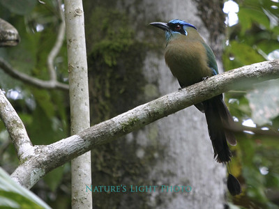Blue Crowned Motmot, Las Cruces Biological Station, Costa Rica