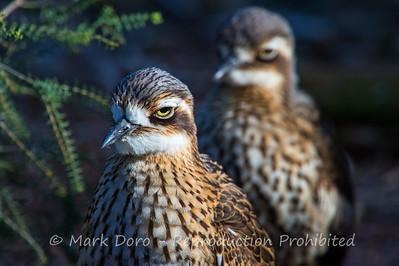Bush Stone Curlew pair