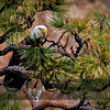 Bald Eagle Peering Through a Ponderosa Pine