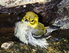 Black-throated Green Warbler female juvenile