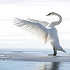 Swan Dance  2