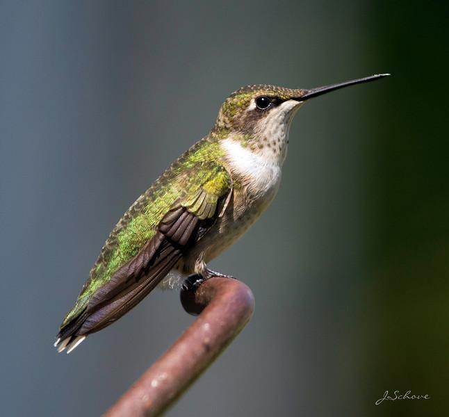 IMAGE: http://jschove.smugmug.com/Nature/Birds/i-p4JbNdR/0/L/Hummingbird_4593-L.jpg