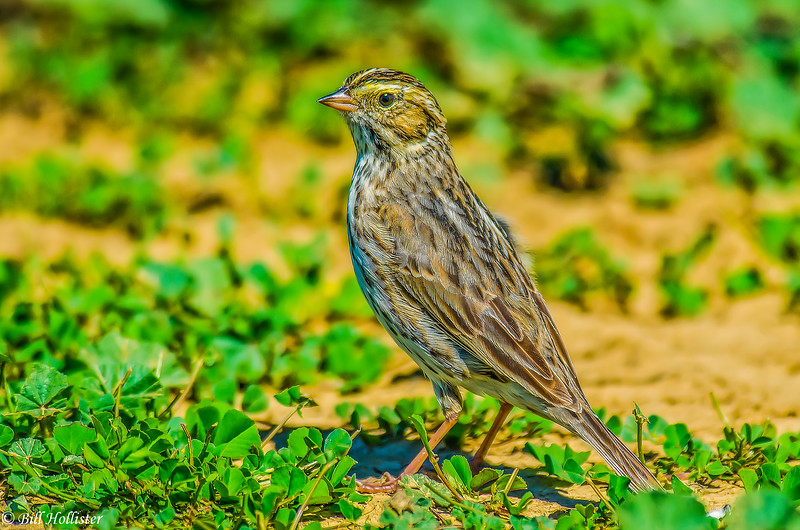 Savannah Sparrow at Sacramento Refuge #2