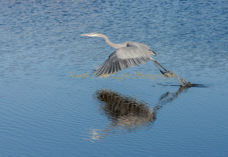 Great Blue Heron heads for the sky