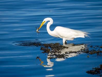 Great Egret - Westport River