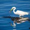 Great Egret - Westport River