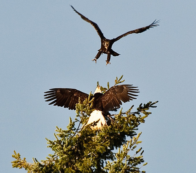 Fighting Bald Eagles - these photos stretched the limits of enlargement too much, but it was such a neat sight to see!