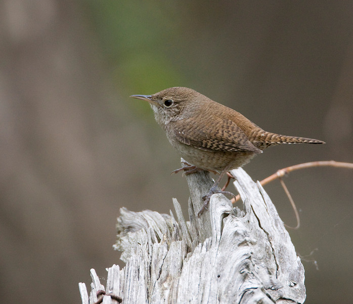 House Wren - May 2008