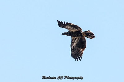 Immature Bald Eagle flies over Montezuma National Refuge located in New York.