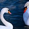 Trumpeter Swans at Lakefront Promenade Marina,Mississauga,Ontario