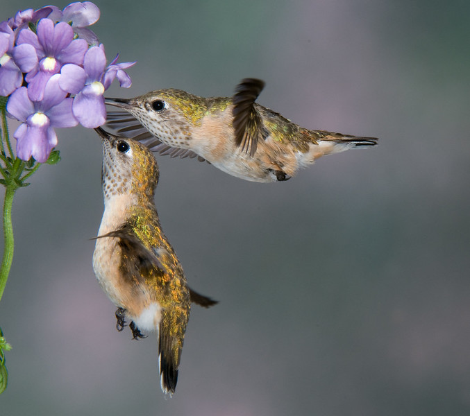 Female Rufous Hummingbirds