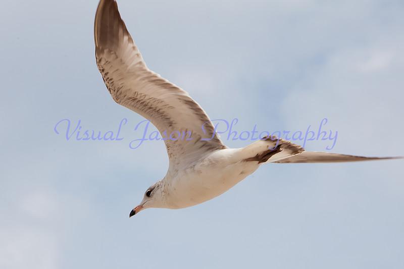 sea gull<br /> Larus argentatis