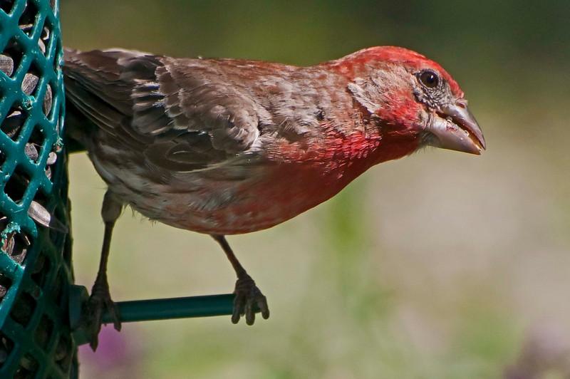 House finch male, 8/6/10.