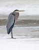 Blue Heron - February 2009