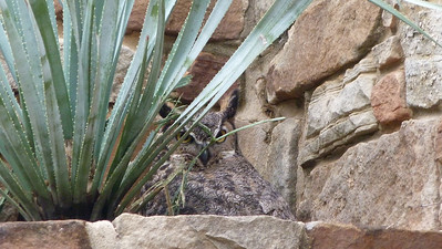 P124GrHornedOwlOver2Chicks199 Apr. 4, 2013  11:42 a.m.  P1240199 Another look at the parent Great Horned Owl in its somewhat late nest at LBJ WC.