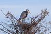 Great blue heron (Ardia herodias)