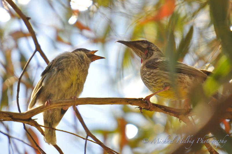 Wattle birds: baby and parent