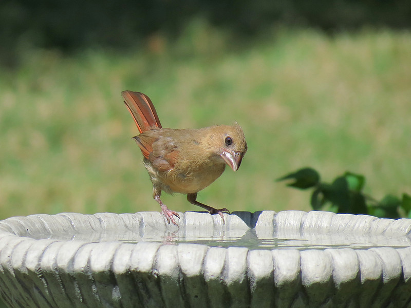Young Cardinal at the bird bath on a very hot day.