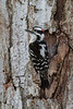 Downy Woodpecker - March 2013