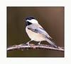 Black-capped Chickadee <br /> (Poecile Atricapillus)