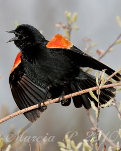 A Red-Winged Black Bird (Agelaius phoeniceus)