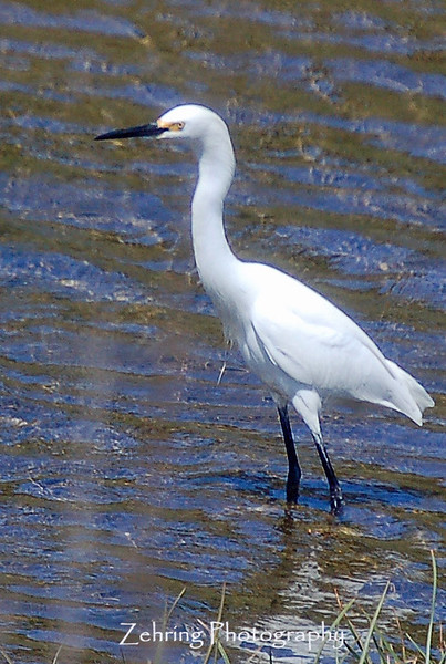 In stealth mode, the snowy egret patiently waits for lunch to swim by.