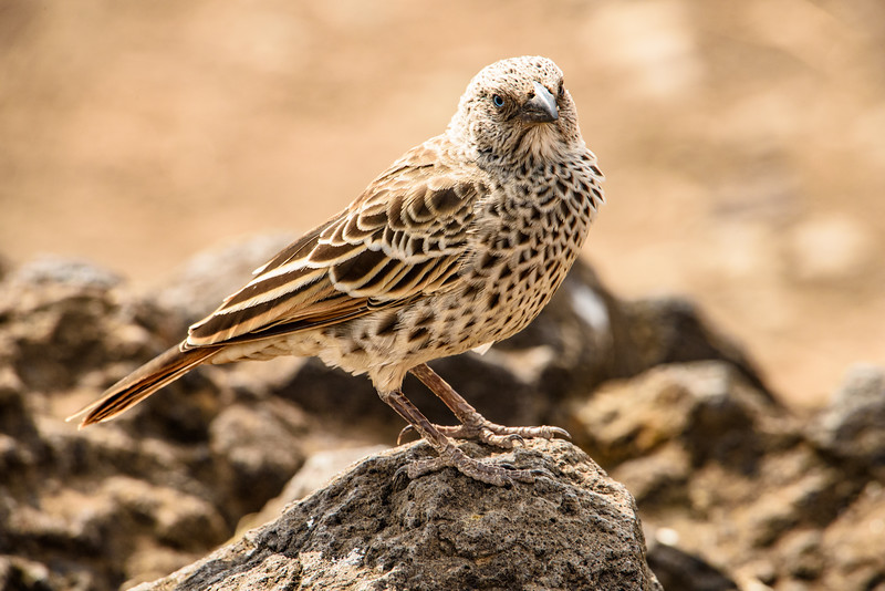 rufous tailed weaver