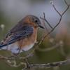 Pensive bluebird