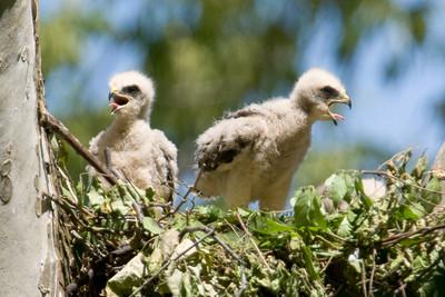 052908 Hawk Chicks-16