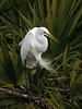 Great Egret, Orlando, Florida