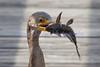 cormorant catches catfish