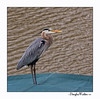 Great Blue Heron (Ardea herodias) <br /> Greenwood, SC