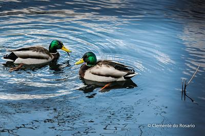 Mallard Drake Ducks in High Park, Toronto. Ontario,Canada